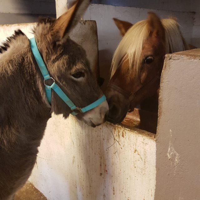 Esel Josi ist innerhalb von Haldern umgezogen und hat sich in seiner neuen Umgebung gut eingelebt